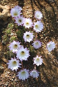 Echinopsis oxygona (1)