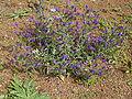 Echium plantagineum (Puntallana) 01.jpg