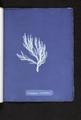 Ectocarpus siliculosus (NYPL b11861683-419726).tiff