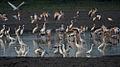 Egrets, Herons, Storks & Ibises in AP W IMG 4156.jpg
