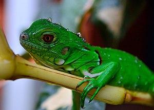 Reptile of Venezuela