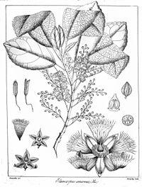 Elaeocarpus amoenus Govindoo.jpg