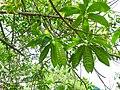 Elaeocarpus ganitrus 03.jpg