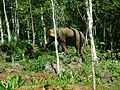 Elephant eating palm shoot.jpg