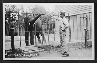 National Zoological Park (United States) - Elephant fed by a zoo attendant through the bars of a fence at the National Zoo in Washington, D.C., circa 1915
