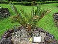 Encephalartos cupidus furnas 2015.jpg