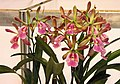 Epicatcyclia Tzeng-Wen Lucky -台南國際蘭展 Taiwan International Orchid Show- (40822575711).jpg