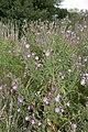 Epilobium hirsutum vallee-de-grace-amiens 80 21072007 5.jpg