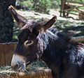 Equus asinus. Naturlandia. Andorra 265.jpg