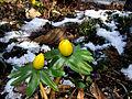 Eranthis hyemalis (winterakoniet) 01.jpg