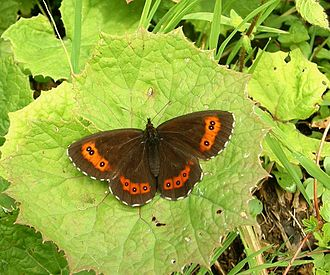 Erebia - Arran brown (type species)