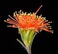 Eremaea pauciflora - Flickr - Kevin Thiele.jpg