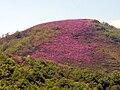Erica cinerea (Picos de Europa) 1.jpg