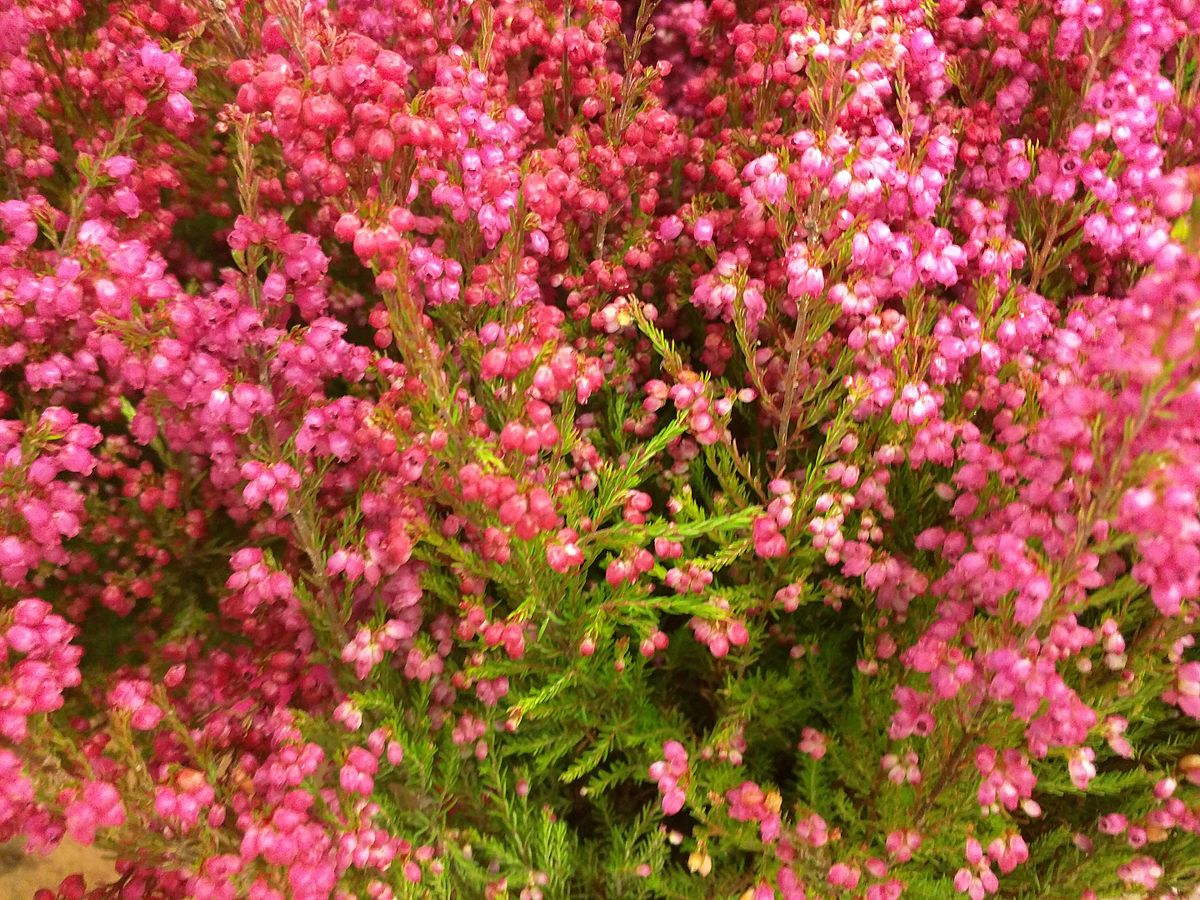 Erica gracilis wikispecies for Erica gracilis