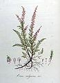 Erica vulgaris — Flora Batava — Volume v8.jpg