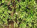 Erigeron karvinskianus-1-chemungi-kerala-India.jpg