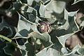 Eryngium maritimum - Sea Holly - Kum Boğadikeni 01.jpg