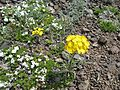 Erysimum arenicola with Phlox diffusa - Flickr - brewbooks.jpg