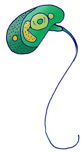Micromonas - Micromonas pusilla