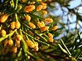 Estróbilos masculinos de Cupressaceae.jpg