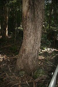 Eucalyptus cypellocarpa trunk Katoomba
