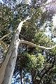 Eucalyptus triflora kz01.jpg