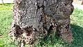 Euchroma gigantea tree atack 1.jpg