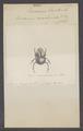Eucranium - Print - Iconographia Zoologica - Special Collections University of Amsterdam - UBAINV0274 019 02 0022.tif