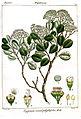 Eugenia calophyllifolia Rungiah.jpg