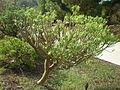 Euphorbia anachoreta 3c.JPG