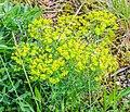 Euphorbia cyparissias in Lozere (1).jpg