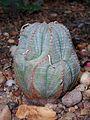 Euphorbia obesa 2017-05-05 9452.jpg
