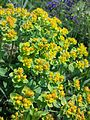 Euphorbia polychroma sl12.jpg