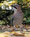 Eurasian Jay - Garrulus glandarius.png