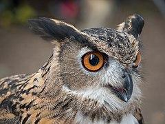 Eurasian eagle-owl (44078).jpg