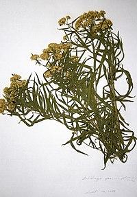 Euthamia graminifolia BW-1979-0914-9972.jpg