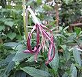 Exostema longiflorum -比利時國家植物園 Belgium National Botanic Garden- (9158240900).jpg