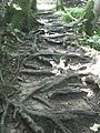 Exposed roots - geograph.org.uk - 1615271.jpg