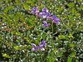 Fabaceae sp.-CTJ-IMG 7147.jpg