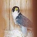 Falco peregrinus - 02.jpg