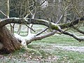Fallen tree in the grounds of Coombe Lodge - geograph.org.uk - 1579367.jpg