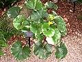 Farfugium japonicum - Atlanta Botanical Garden.JPG