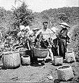 Farmers of forty centuries - Weighing freshly picked tea leaves in Japan.jpg