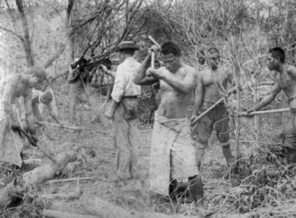 Farnborough, Queensland - Kanaka indentured labourers clearing scrub at Farnborough in 1895