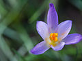 February flower (12312657664).jpg