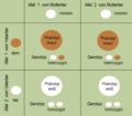 Fellfarbe Erbschema ein Elterntier rezessiv homozygot, ein Elterntier heterozygot.png