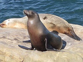 Female California sea lion.jpg