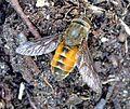 Female Hybomitra species . Tabanidae. - Flickr - gailhampshire.jpg