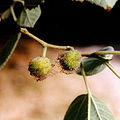 Female inflorescens of Broussonetia in Risan 15.7.2001.jpg