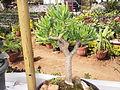 Fenestraria rhopalophylla-1-yercaud-salem-India.JPG